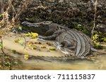 saltwater or estuarine... | Shutterstock . vector #711115837