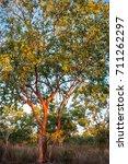Australian Red Gum Trees Sunli...