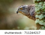 Portrait of head of goshawk. Bird of prey sitting on the branch in the fallen larch forest during autumn. Goshawk hidden behind the tree in Norway.
