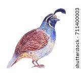 Quail Watercolor Illustration ...