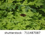 Small photo of erbia ligea butterfly