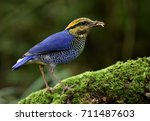 male of blue pitta  hydrornis... | Shutterstock . vector #711487603