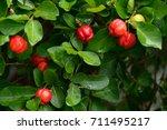 Small photo of Fresh organic Acerola cherry on the tree, High vitamin C and antioxidant fruits