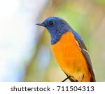 close up shot of blue fronted... | Shutterstock . vector #711504313