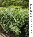 Small photo of Home Grown Organic Broad Bean Plant 'Masterpiece Green Longpod' (Vicia faba) on an Allotment in a Vegetable Garden in Rural Devon, England, UK