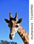Giraffe With The Beautiful Eyes