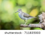 The Common Sandpiper  Actitis...