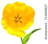 beautiful yellow tulip flower... | Shutterstock . vector #711839827