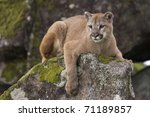 Mountain Lion On Moss Covered...