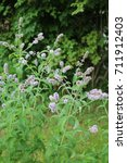 Small photo of Peppermint perfumed herbaceous plant