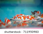 Small photo of Fancy carp fishes in the fish tank are available in red, white and black ,On blue tone background images.