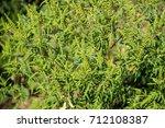 Ragweed Plants  Ambrosia...