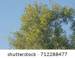 Karee Tree Branches And Foliage