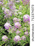 Small photo of Purple flowers. Alyssum maritimum or lobularia marine. Garden plant. A park. Flower background. Seasons cards. Images for calendar