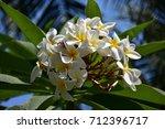 frangipani flowers | Shutterstock . vector #712396717