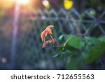 young leaves rising under... | Shutterstock . vector #712655563