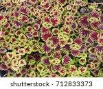 Multicolored Coleus Or Painted...