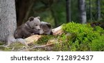 young brown bear in the forest. ... | Shutterstock . vector #712892437