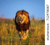 close up of lion walking in... | Shutterstock . vector #712978087