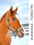 Small photo of Chestnut horse portrait