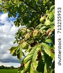 Small photo of Horse-chestnuts on tree branch against great cloudy blue sky - Aesculus hippocastanum fruits in autumn.