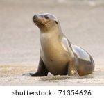 California Sea Lion On Beach I...