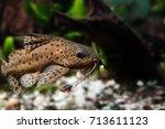 catfish three pair of barbels... | Shutterstock . vector #713611123