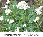 garden arabis  arabis caucasica  | Shutterstock . vector #713664973
