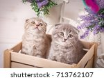 purebred cats. pets. a couple... | Shutterstock . vector #713762107