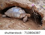 african spurred tortoise at... | Shutterstock . vector #713806387