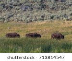 Small photo of Three Bison Mosey Across Field while grazing