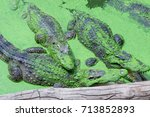 Small photo of Three large crocodiles are in the pond with moss adhere to the skin. It's open mouth.