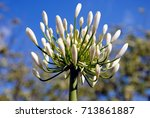 Close Up Of A White Agapanthus...