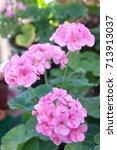 pink geranium zonal | Shutterstock . vector #713913037