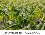 green tobacco leaf in tobacco...   Shutterstock . vector #713939713