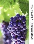 Season Of Grapes. Close Up Of ...