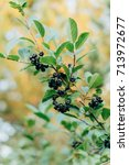 Small photo of Black and red Rowan. Types of Rowan. Red and black berries. Autumn