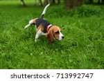 Stock photo beagle dog peeing and marking territory funny puppy rise paw and wee in grass 713992747
