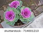 Ornamental Cabbages In Plant...