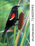 Small photo of A male Red- winged Blackbird (Agelaius phoeniceus) on a cattail plant.