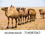 Small photo of A single file row of double hump bactrian camels walking in the gobi desert in Mongolia