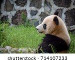 giant panda in chengdu china | Shutterstock . vector #714107233