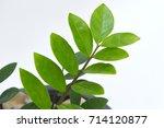 zamioculcas zamiifolia   green...   Shutterstock . vector #714120877