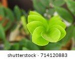 zamioculcas zamiifolia    Shutterstock . vector #714120883