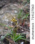 diuris pardina or leopard...   Shutterstock . vector #714127063