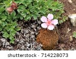 Small photo of Alpinepink wild flowers, androsace alpina , in Dolomites mountain at Piz Boe in Sud Tyrol, Alto Adige, Italy