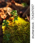 macro green plant on mossy... | Shutterstock . vector #714247057