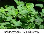 indian borage  plectranthus... | Shutterstock . vector #714389947