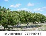 cashew nuts fruit trees  farm... | Shutterstock . vector #714446467
