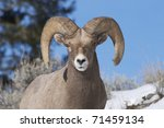 Bighorn Sheep Portrait With Sk...